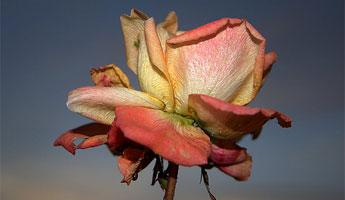 2591998_Une-rose-fanee