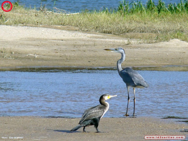 heron-cendre-et-cormoran-photographies-depuis-l-26509111618