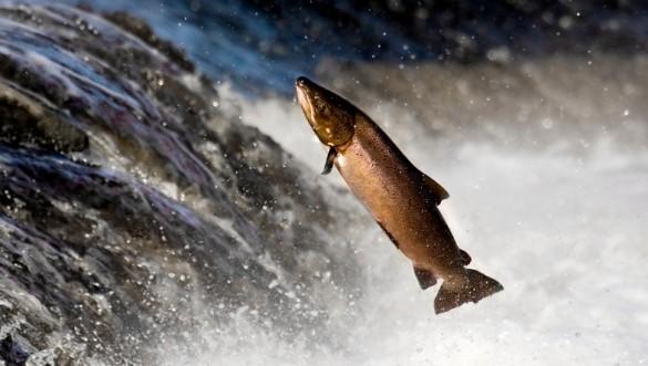 saumon-en-liberté-585x331